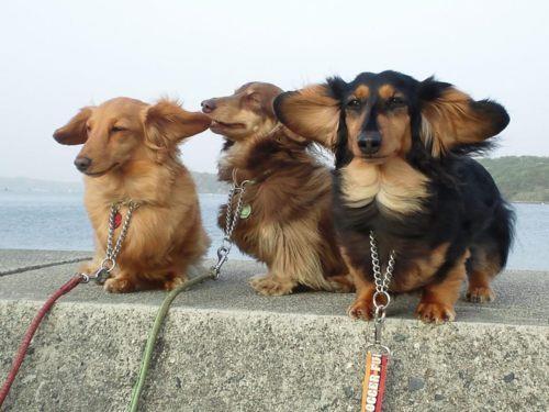 La truffe en avant les oreilles au vent !
