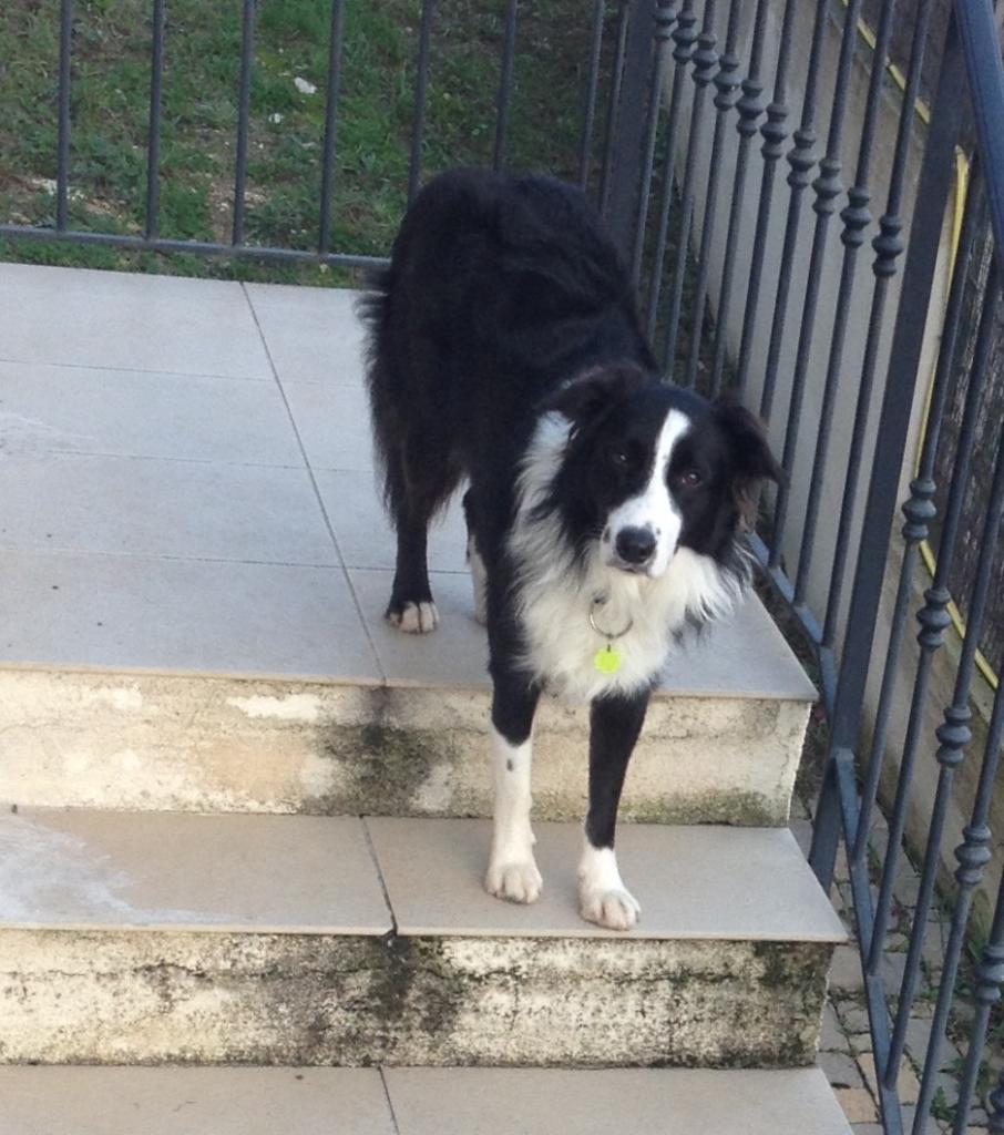 Zizou, border collie de 14 mois