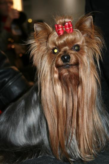 salon du chien Yorkshire terrier
