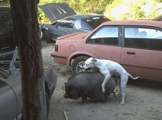 Cochon va !