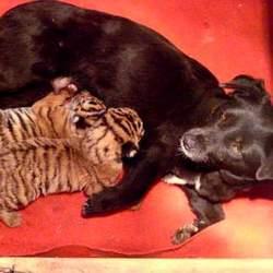 Incroyable :des bébés tigres nourris par une chienne !
