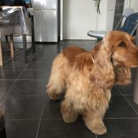 Joey, cocker 4 ans