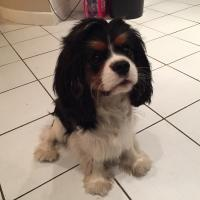 Pacifico, cavalier king charles de 7 mois