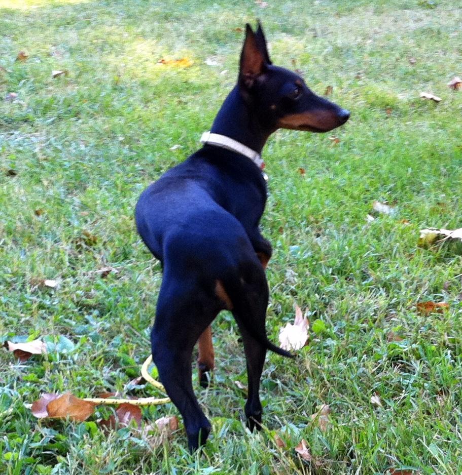 Fiona, manchester terrier de 8 mois