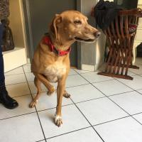 lola, croisé chien courant 7 ans