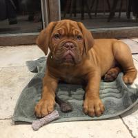 Pablo, dogue de bordeaux de 2 mois