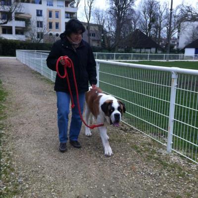 Saint Bernard de 1 an exercice de marche aux pieds