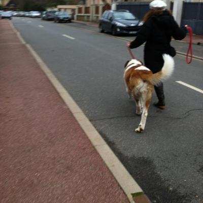 Saint Bernard de 1 an promenade en ville