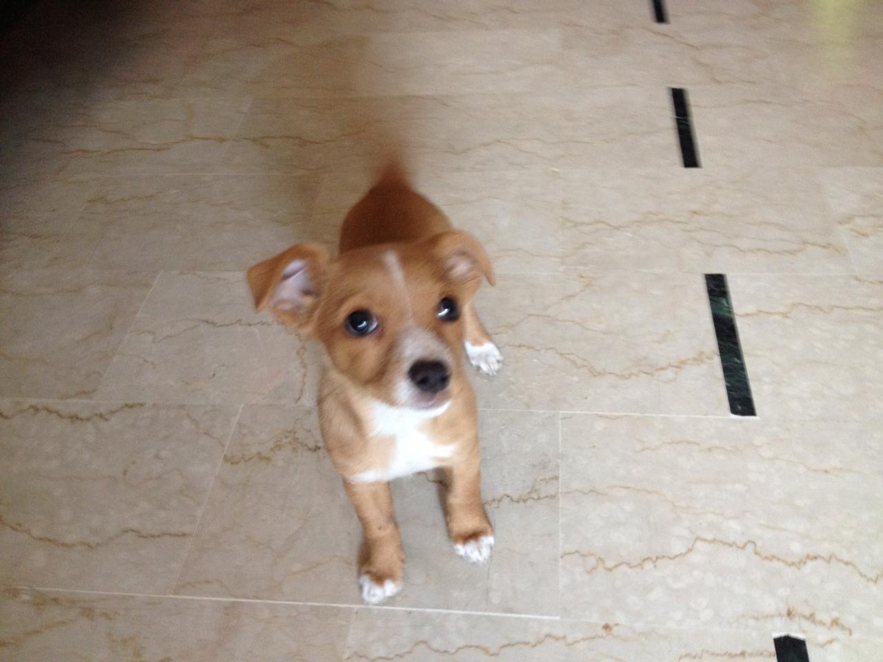 Mabel, croisé chihuahua jack russel de 2 mois 1/2