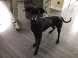 Fonzy, croisé labrador doberman de 6 ans