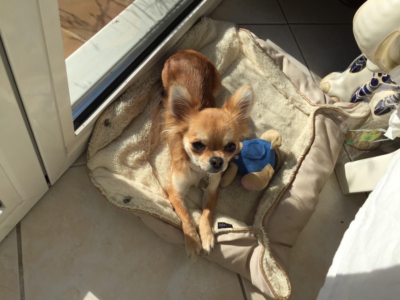 Noisette, chihuahua de 13 mois