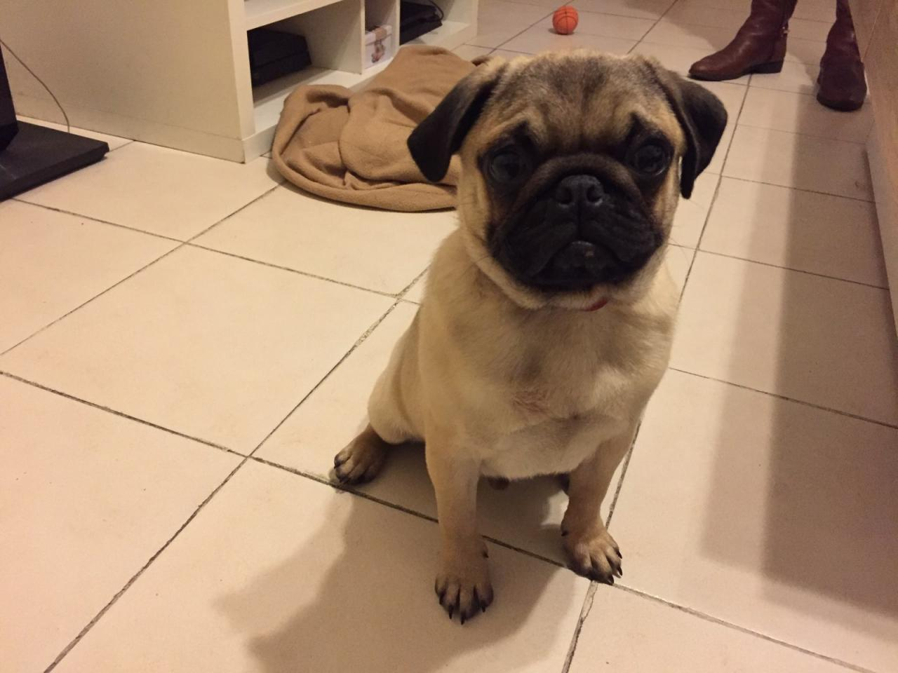 Marcel, carlin de 5 mois