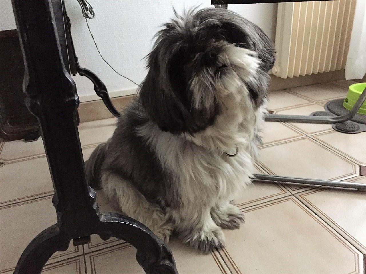 Moka, shi-tzu de 5 ans
