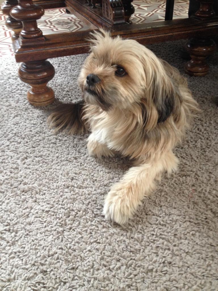 Booba, Shih Tzu de 3 ans