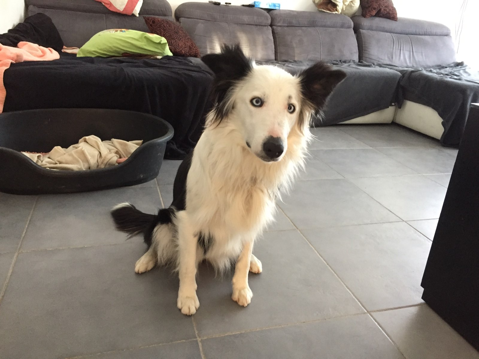 Maya, border collie de 1 an 1/2