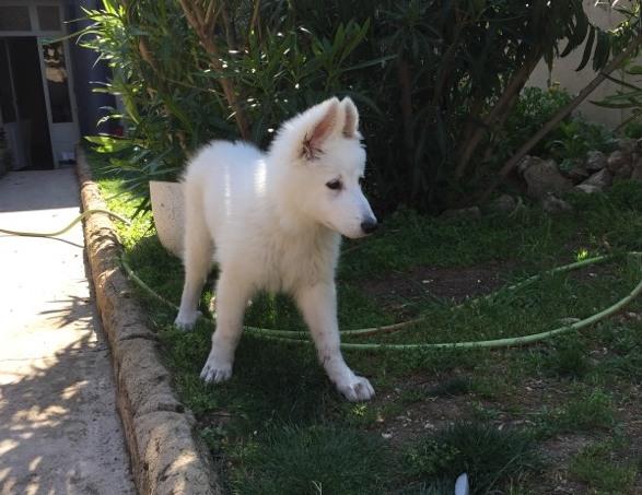 Joy, berger blanc suisse de 3 mois