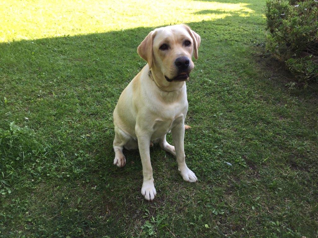 Narley, labrador de 1 an