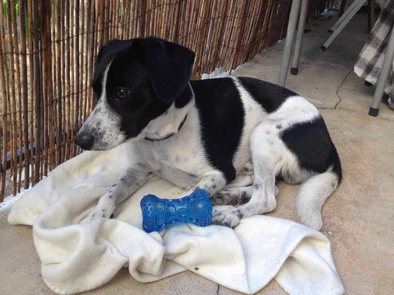 Hercule, croisé jack & terrier brésilien de 2 ans
