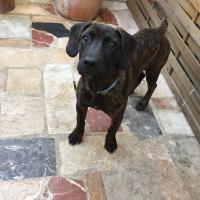 Opra, croisé cané corso chien de chasse de 10 mois