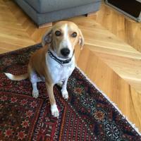 Mambo, beagle harrier 2 ans
