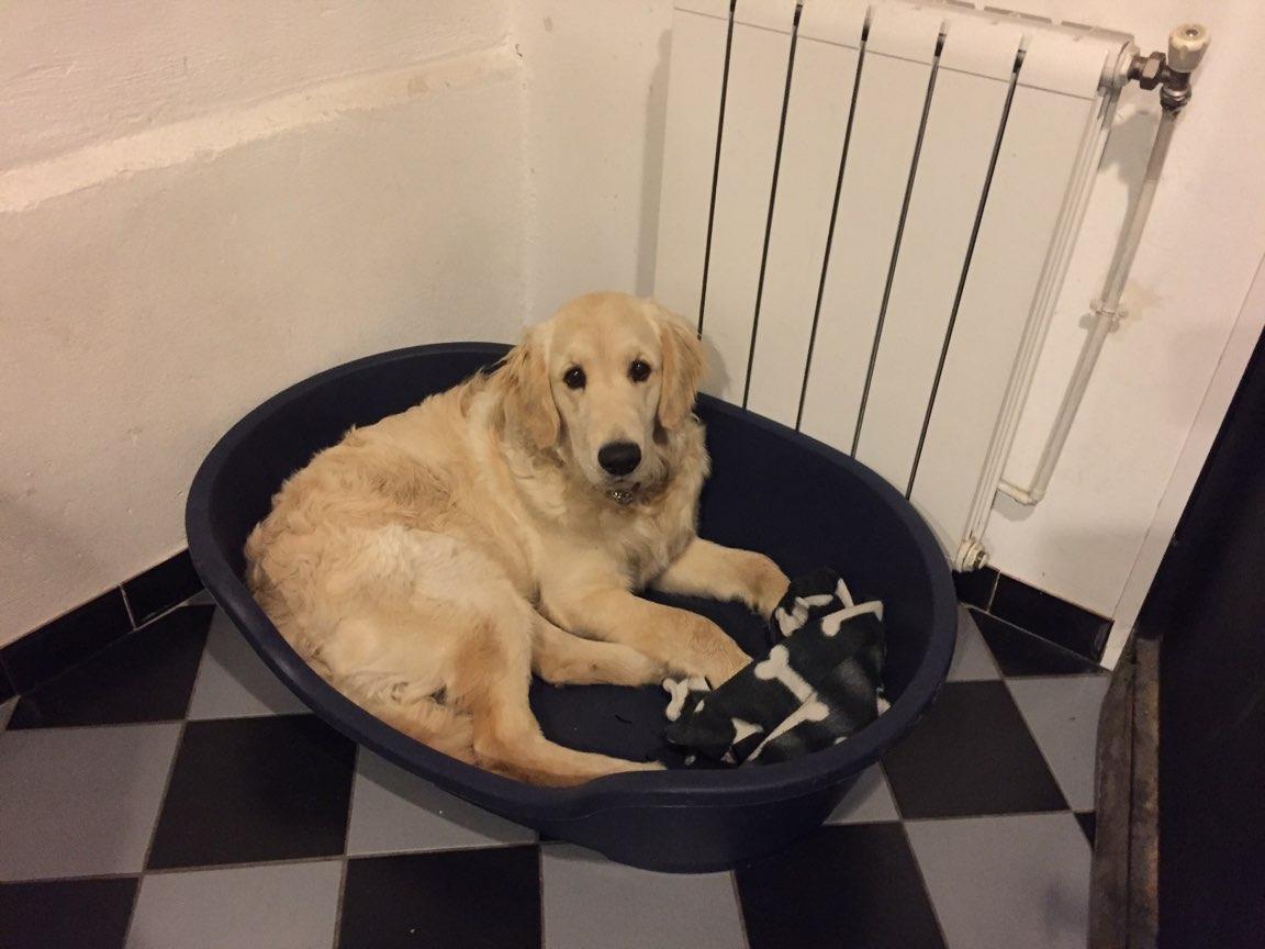 Baloo, golden de 8 mois