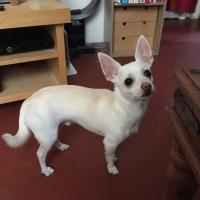 Zephir, chihuahua de 10 mois