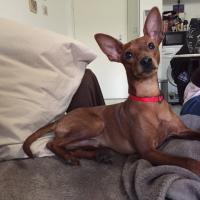 Oscar, Pinsher de 10 mois