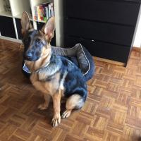 Onyx, berger allemand de  5 mois