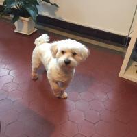 Max, coton de tuléar de 2 ans