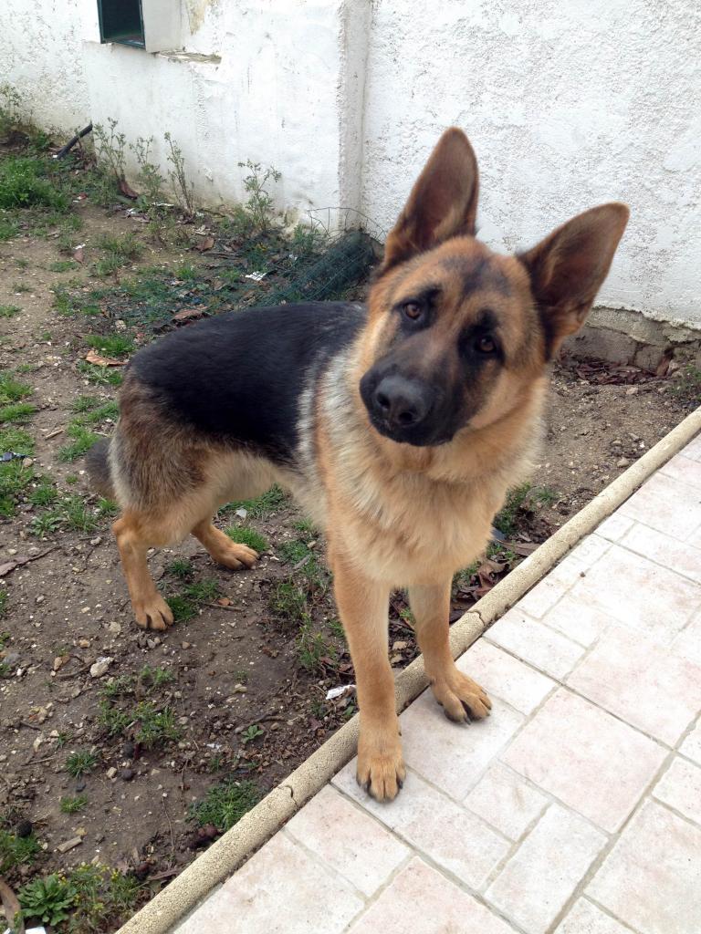 Wolf, berger allemand de 8 mois