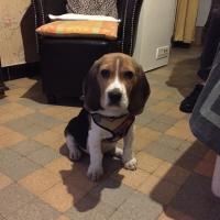 Léo, beagle de 3 mois