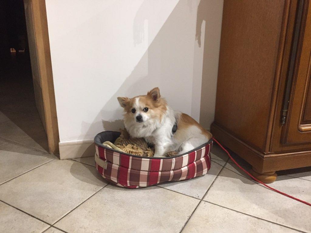 Poupi, chihuahua de 6 ans