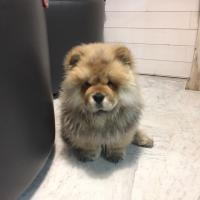 Achille, chow chow de 4 mois