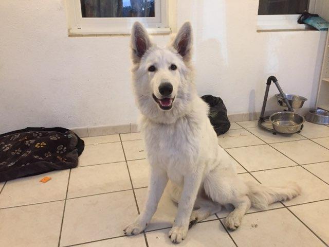 Octavia, berger blanc suisse de 6 mois