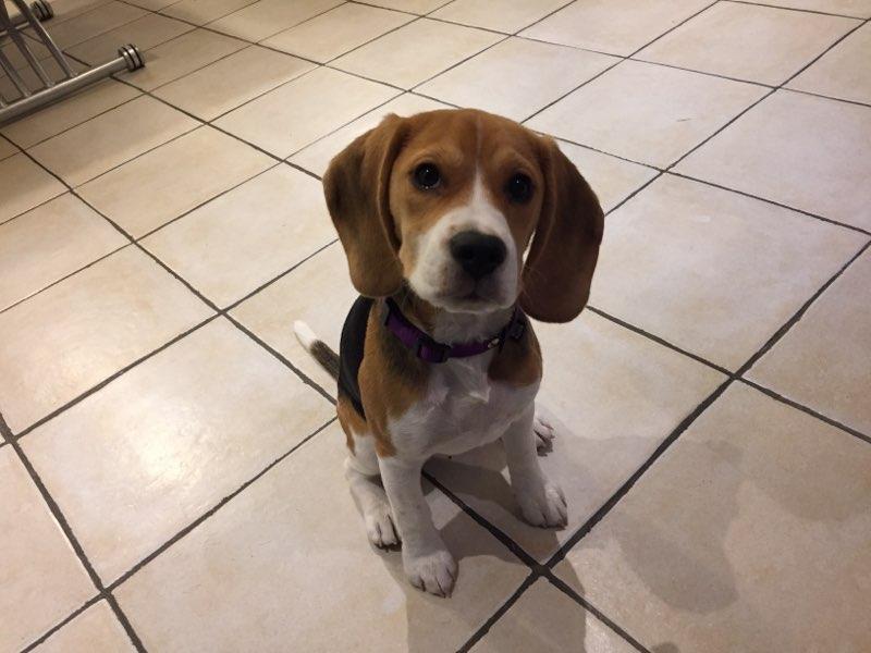 Ouna, beagle de 4 mois