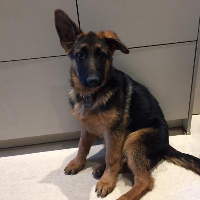 Orka, berger allemand de 4 mois
