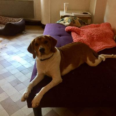 Roxy, croisé beagle de 7 mois