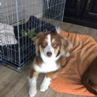 Masha, berger australien de 8 mois