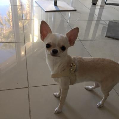 Lolita, chihuahua de 9 mois