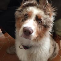 Opixou, berger australien de 3 mois