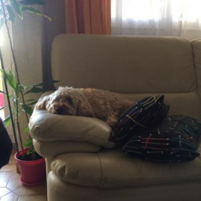 Nouki, caniche 2 ans
