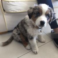 Pablo, berger australien de 2 mois