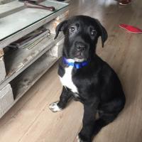 Snoup, croisé labrador beauceron de 3 mois