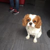 Charlotte, cavalier king charles 2 ans