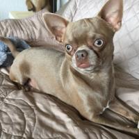Nox, chihuahua de 2 ans