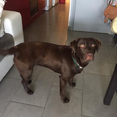 Bulma, labrador de 9 mois