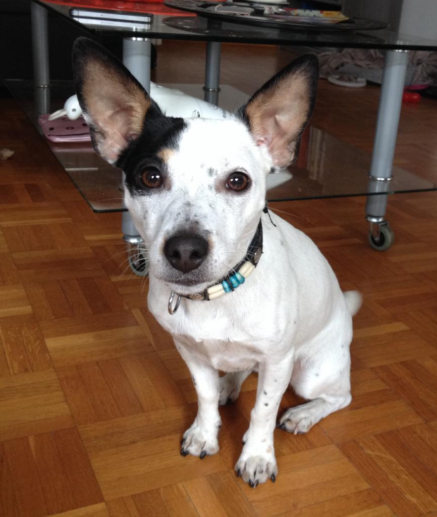 Holly, jack russel de 1 an