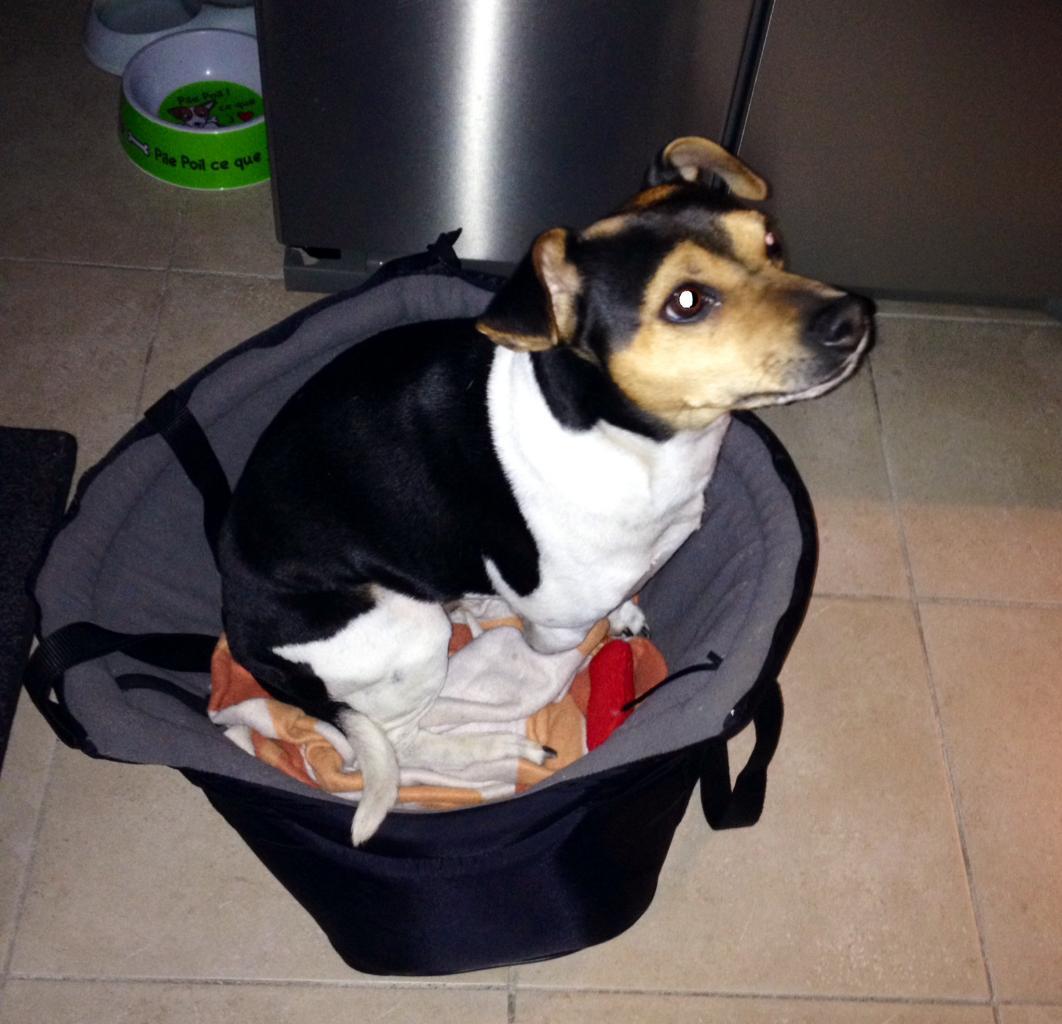Diablo, terrier brésilien de 6 ans