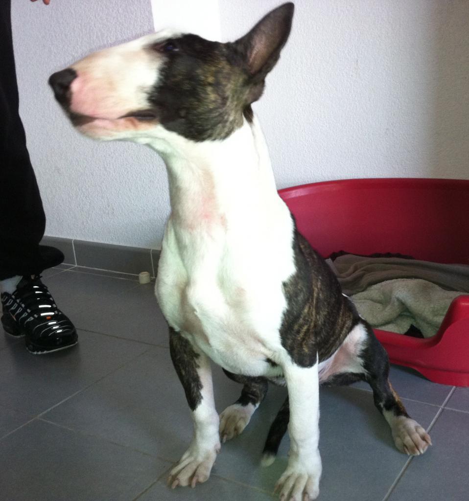 monroe, bull terrier 7 mois