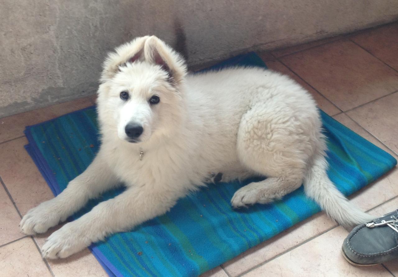 Link, berger blanc suisse de 3 mois